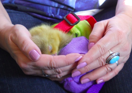 Diapered Goslings Sleeping on my Lap2012-02-10