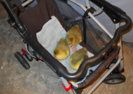 Goslings First Ride in Stroller2 2012-02-14